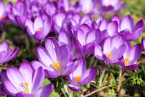crocus by mark severn