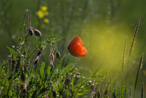 Mohn by suze