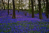 Bluebells-can-7-of-33