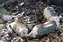 biber mikado I - beaver jackstraws I von mateart