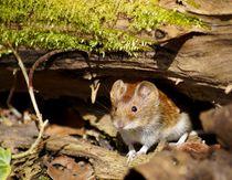 Sonnige Maus - Sunny mouse von mateart