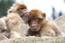 Affenliebe by tierwissen