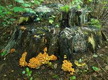 Baumstumpf mit Pilzen von Sabine Radtke