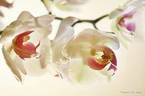 Orchideenreigen von Gertrud  Aulbach