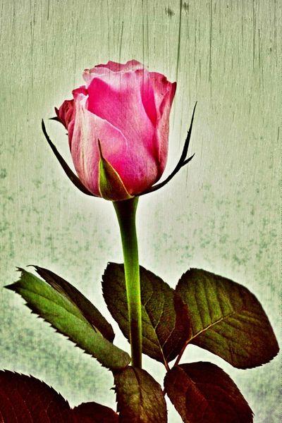 Rose-002-6000g