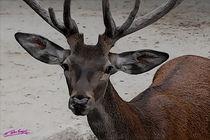 Deer von Carlos Segui