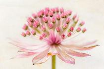 Blossom - Große Sterndolde von Ruby Lindholm