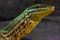 Lizard von Carlos Segui
