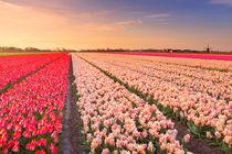 Tulip fields at sunrise von Sara Winter