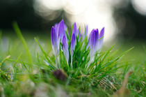 Crocuses von finest-dream-art