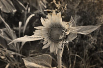 Sonnenblume by Christina Beyer