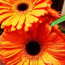 Orange Gerber Daisies by Christine Chase Cooper