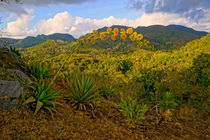 Agave in der Sierra de Escambray von Christian Behring