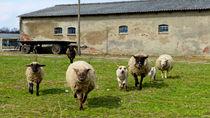 Freundliche Schafe by k1ngp1n