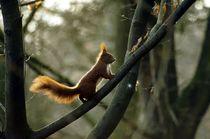 Auf geht's / Eichhörnchen I - Let's go / squirrel I von mateart