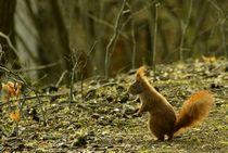Gut frisiert wie immer / Eichhörnchen III - nice haircut / squirrel III by mateart