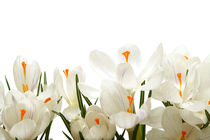 orchids by Analida  Guzman