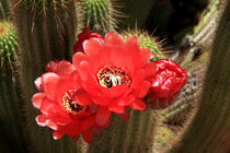 Flowering Cactus by Aidan Moran