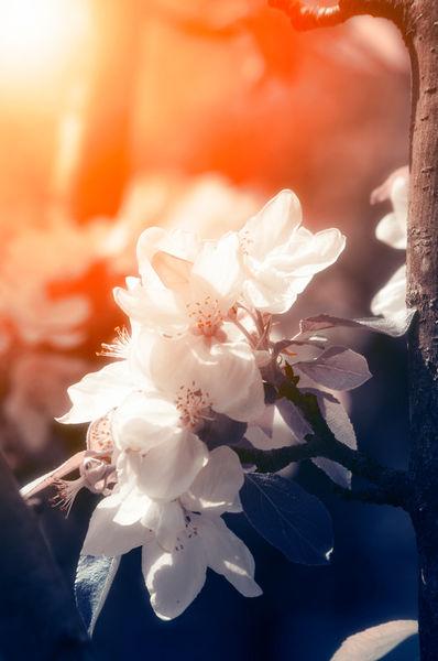 Apple-spring