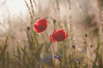 Poppy in sunrise my world by Tanja Riedel