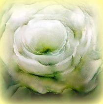 weiße rose... by hedy beith