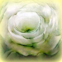 weiße rose... von hedy beith