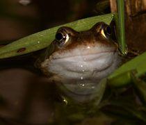Froschaugen 22 von haldenslebener