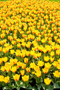 Yellow and red Stresa tulips abloom von Arletta Cwalina