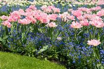 Foxtrot tulips blooming in garden by Arletta Cwalina