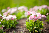 Blossom Bellis perennis pomponette by Arletta Cwalina