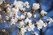 White Magnolia spring flowers von Arletta Cwalina