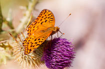 Fabriciana adippe butterfly sitting by Arletta Cwalina