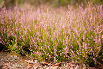 Bunches of wild pink heather von Arletta Cwalina