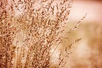 sepia toned grass inflorescence von Arletta Cwalina