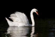 Mute Swan Cygnus olor at lake von Arletta Cwalina