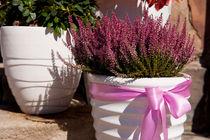 Blooming Calluna vulgaris or heather by Arletta Cwalina