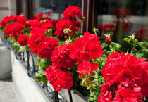 Bunches of vibrant red Pelargonium by Arletta Cwalina