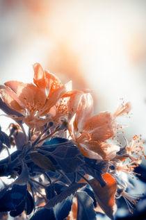 Blossom von cinema4design