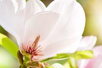 Magnolia sepal flowering macro von Arletta Cwalina