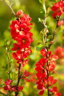 Chaenomeles shrub red flowering by Arletta Cwalina