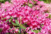 Rhododendron or Azalea blossoms by Arletta Cwalina