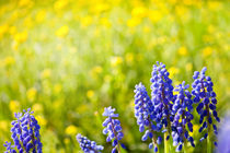 Blue Muscari Mill bunches von Arletta Cwalina