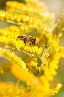 Bee sitting on Solidago virgaurea by Arletta Cwalina