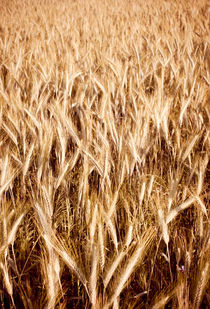golden cereal grain ears on field by Arletta Cwalina