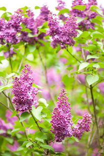 Purple Syringa vulgaris or lilac by Arletta Cwalina