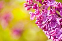 Pink Syringa or lilac flowerets von Arletta Cwalina