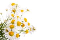 white flowerheads of chamomile by Arletta Cwalina