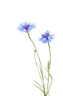 Two blue cornflowers by Arletta Cwalina