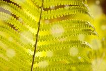 Dryopteris called wood fern  von Arletta Cwalina