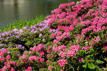Azalea luxuriant park in Warsaw by Arletta Cwalina